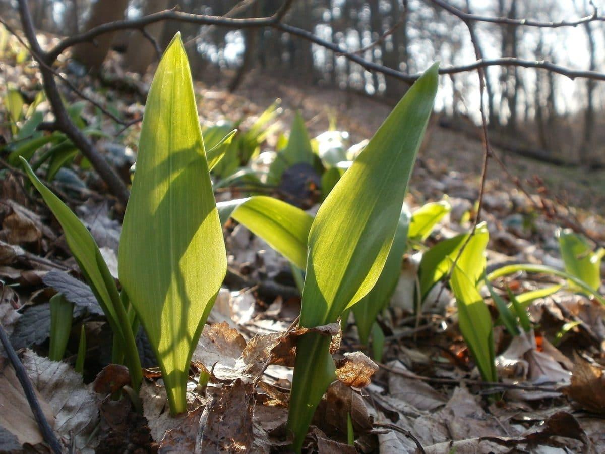 ramsløgspesto ramsløg i skoven grøn pesto